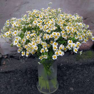 "Bouquet from matricaria ""25 daisies"""