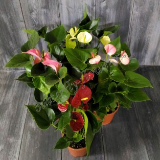 "Potted plants ""Anthurium"""