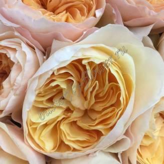 "Peony peach rose ""Juliet"""