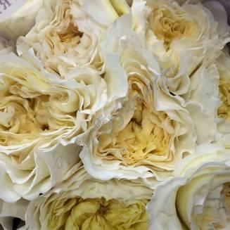 "Peony cream rose ""Patience"""
