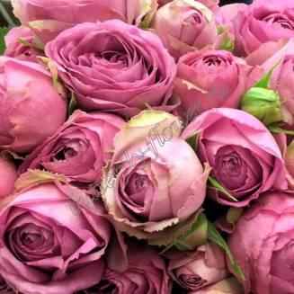 "Spray peony rose ""Lavender lace"""