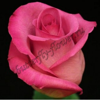 "Bouquet of pink premium roses ""Purple Cezanne"""