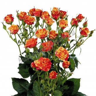 """Bouquet of yellow-red spray roses """"Fireflash"""""""