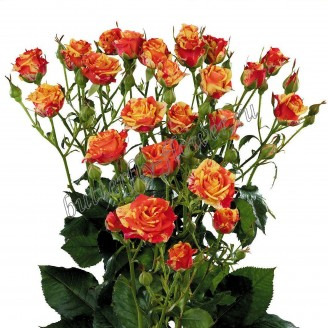 "Bouquet of yellow-red spray roses ""Fireflash"""