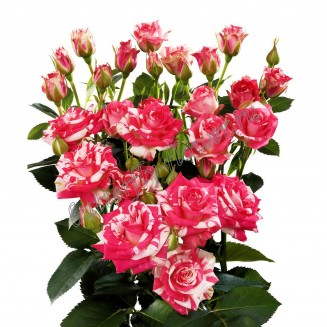 """Bouquet of white-pink spray roses """"Fireworks"""""""