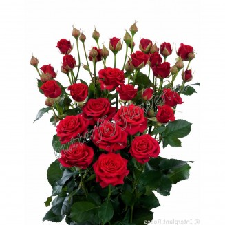 "Bouquet of red spray roses ""Mirabel"""