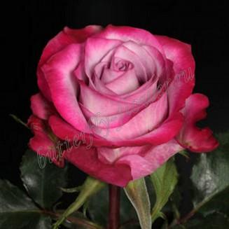 "Bouquet of premium purple roses ""Deep Purple"""