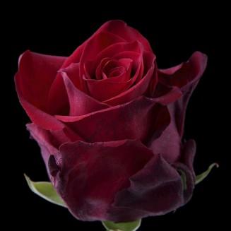 "Bouquet of roses ""Explorer"""