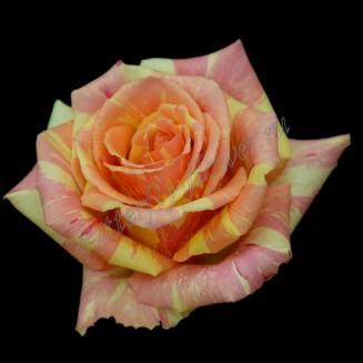 "Bouquet of two-color premium roses ""Fiesta"""