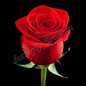 "Bouquet of red premium roses ""Freedom"""