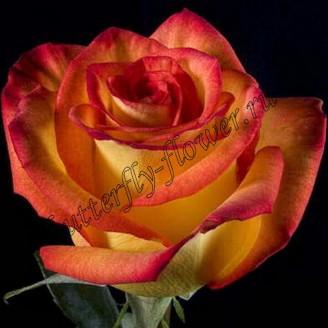 """Bouquet of yellow and orange premium roses """"High Orange"""""""