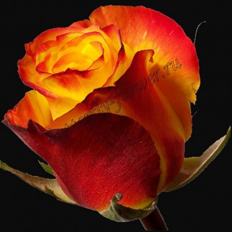 """Bouquet of yellow-red premium roses """"High Yellow"""""""
