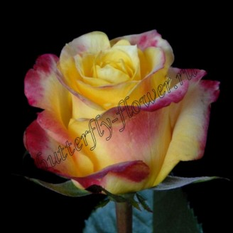 "Bouquet of yellow-red premium roses ""Hot Merengue"""