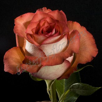 """Bouquet of terracotta premium roses """"Iguana"""""""