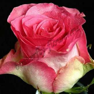 """Bouquet of pink premium roses """"Malibu"""""""