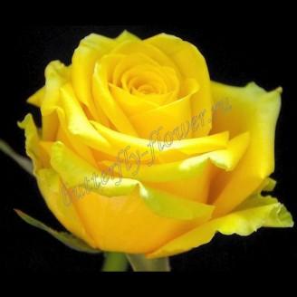 """Bouquet of yellow premium roses """"Mohana"""""""