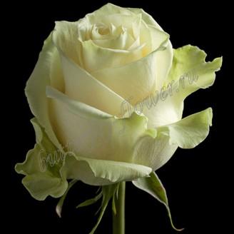 "Bouquet of white premium roses ""Mondial"""