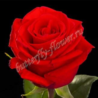 """Bouquet of scarlet premium roses """"Nina"""""""