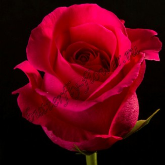 """Bouquet of crimson premium roses """"Pink Floyd"""""""