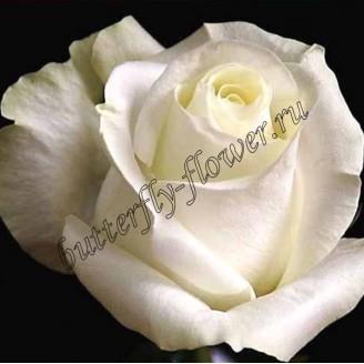 """Bouquet of white premium roses """"Proud"""""""