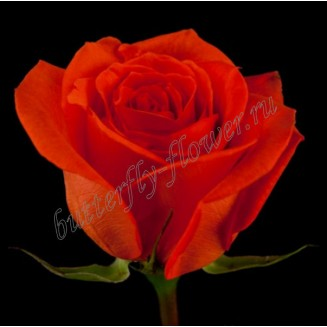 "Bouquet of scarlet premium roses ""Santana"""
