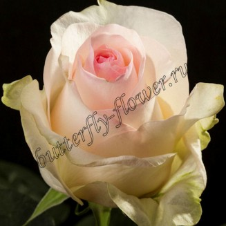"Bouquet of pale-pink premium roses ""Senorita"""