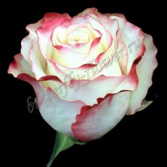 "Bouquet of bicolor premium roses ""Sweetness"""