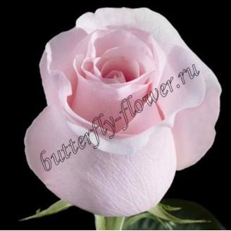"""Bouquet of pink premium roses """"Titanic"""""""