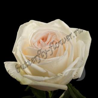 "Bouquet of white peony roses ""White Ohara"""